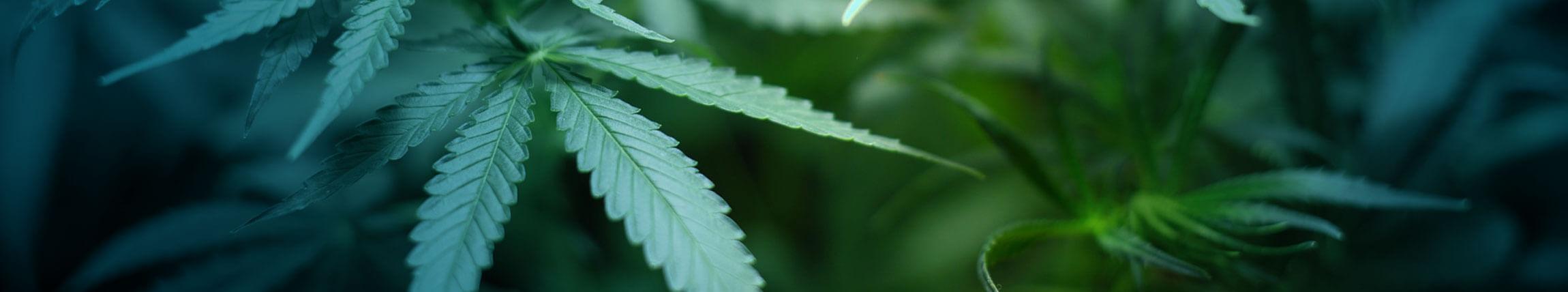 Fernley marijuana dispensary hosting grand opening Wednesday